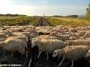 Gregge di pecore attraversa un passaggio a livello nei pressi di Pabillonis, sulla linea Cagliari–Oristano. (15/05/2007; foto Marco Bruzzo / tuttoTreno)